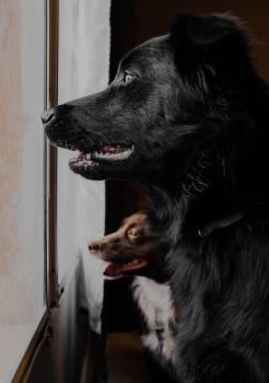 Shepherd dog Dog Pet Free Photo