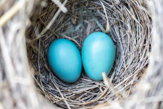 Selective Focus Photography2 Blue Egg on Nest Free Photo