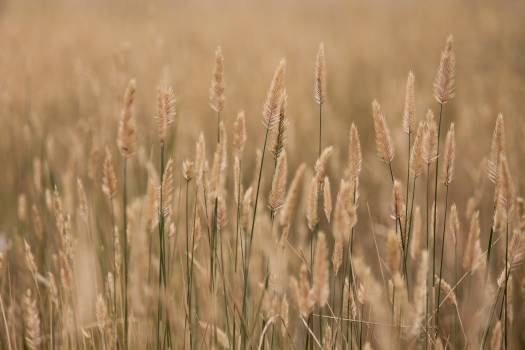 Wheat Cereal Field #351537