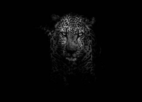 Leopard Big cat Feline #352057