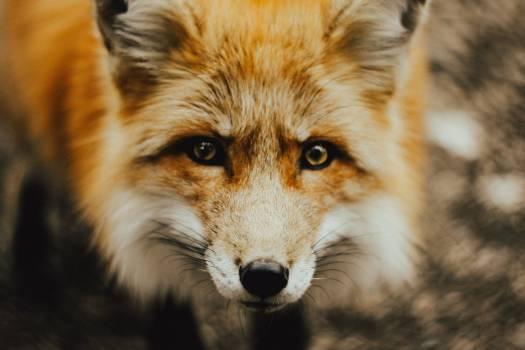 Red fox Fox Canine Free Photo