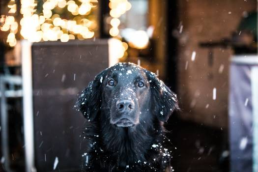 Flat-coated retriever Retriever Sporting dog #352567