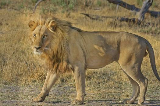 Nature africa wilderness lion #35273