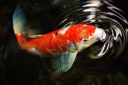 Goldfish Fish Water Free Photo