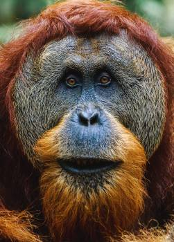 Orangutan Ape Primate #353497