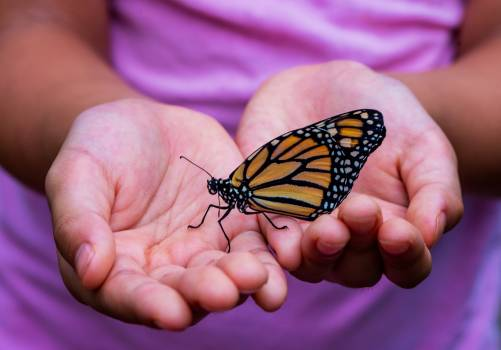 Monarch Insect Butterfly Free Photo
