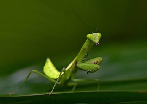 Mantis Insect Arthropod #354105