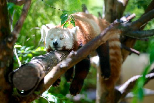 White Black and Orange Animal Sleeping on Tree Stem #35435