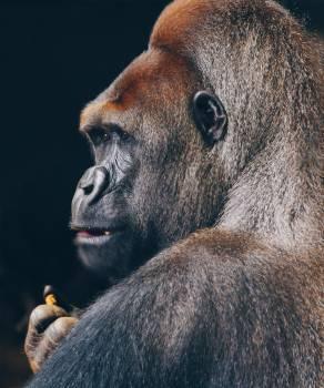 Gorilla Ape Primate #354527