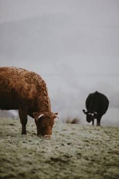 Mammal Bull Farm #354680