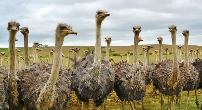 Ostrich Under White Sky #35479