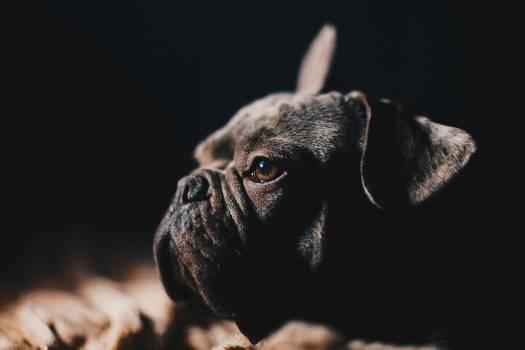 Bull mastiff Boxer Dog #354909