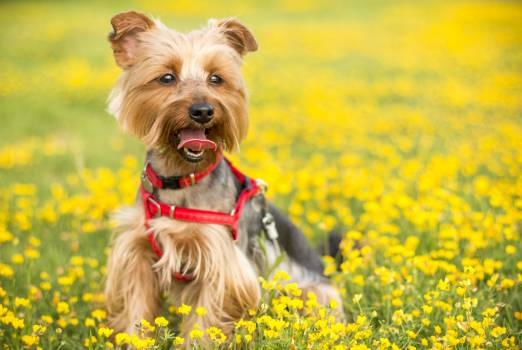 Tan and Black Yorkshire Terrier #35491