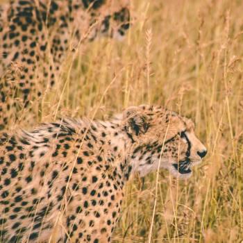 Cheetah Big cat Feline #355290