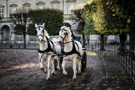 Carriage Horse Harness Free Photo