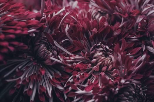 Red Cluster Petaled Flower #35775