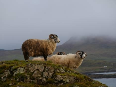 Ram Sheep Ruminant Free Photo