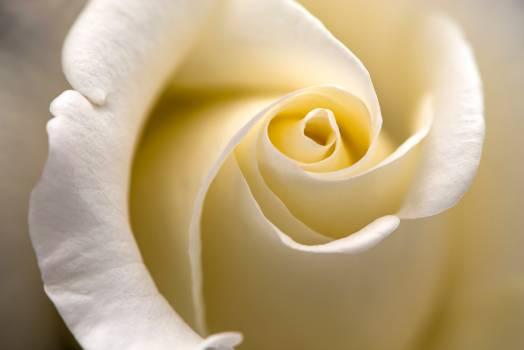 White Rose Flower Free Photo