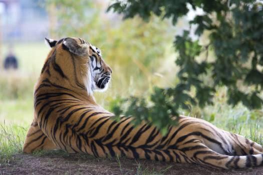 Tiger Lying Down during Daytime #35814
