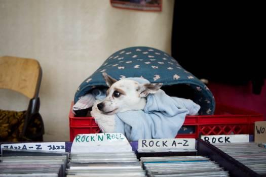 Chihuahua Toy dog Dog #358346