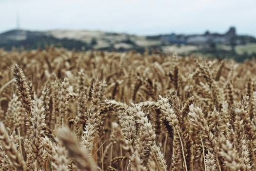 Wheat Cereal Field #359156
