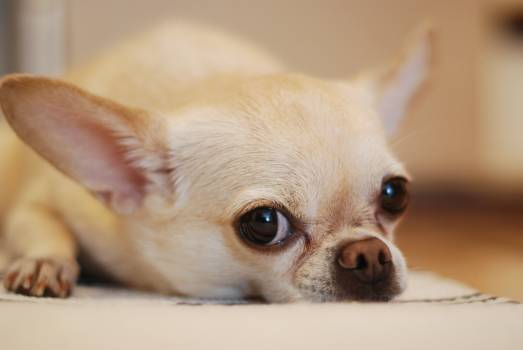 Chihuahua Lying on White Textile #35923