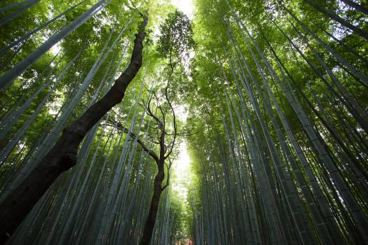 Nature forest trees bamboo #35976