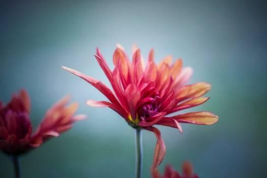 Pink Petal Flower Free Photo