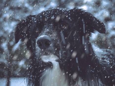 Dog Border collie Shepherd dog #360320