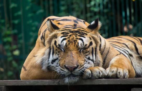 Tiger Cat Feline #360964