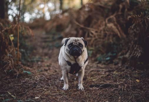 Pug Dog Domestic animal #361095