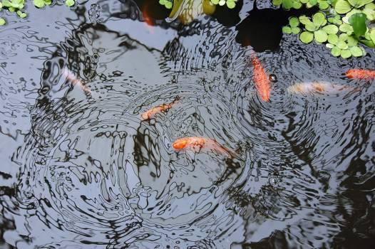 Goldfish Aquatic Water Free Photo