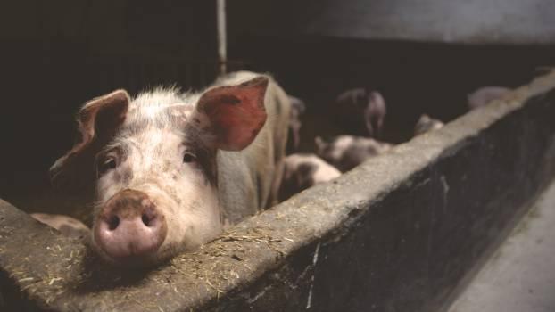 Pink Pig #36155