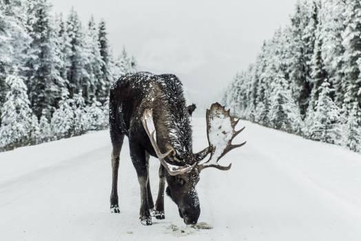 Caribou Deer Snow Free Photo