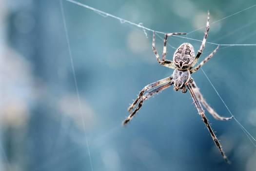 Spider Arachnid Black and gold garden spider #361744
