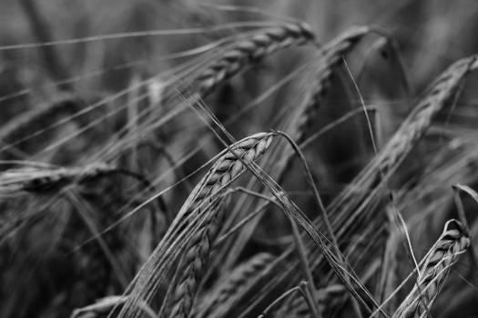 Wheat Cereal Grain Free Photo