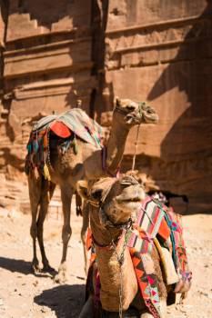 Camel Horse Cowboy Free Photo