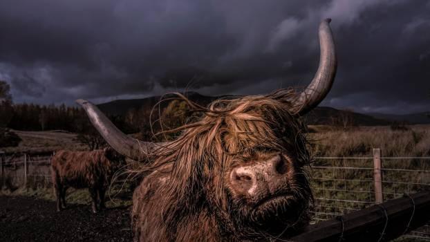 Cattle Ox Bovine Free Photo