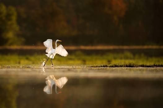 Egret Heron Wading bird Free Photo