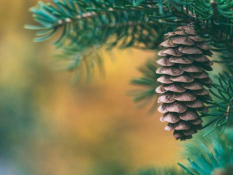 Cone Plant Fir Free Photo