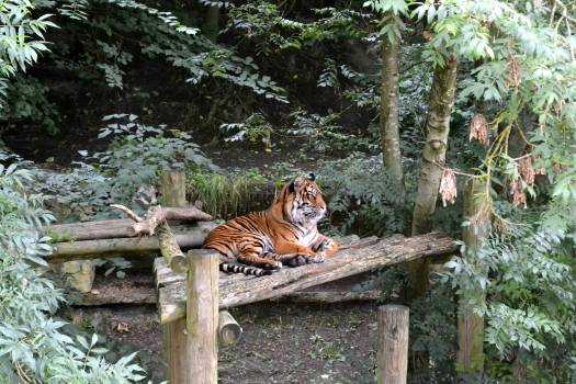 Brown and Black Tiger Sitting on Brown Wooden Table during Daytime #36361