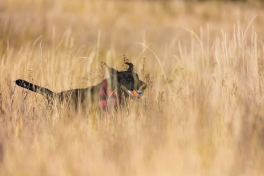 Flat-coated retriever Hunting dog Retriever #363979
