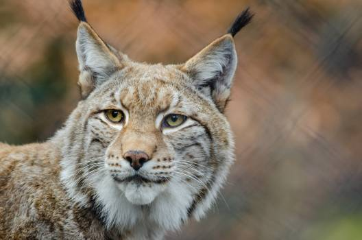 Brown and White Lynx in Close Photography Free Photo