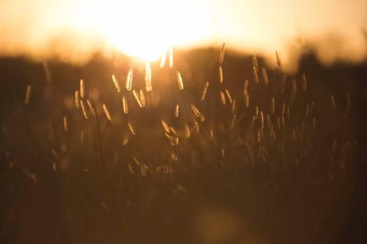 Sun Wheat Star Free Photo