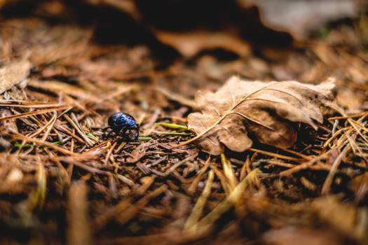 Dung beetle Beetle Insect Free Photo