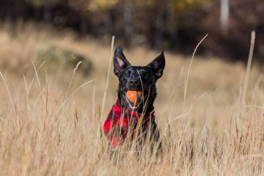 Dog Giant schnauzer Hunting dog #364980