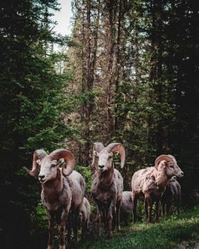 Ram Sheep Bighorn #365015