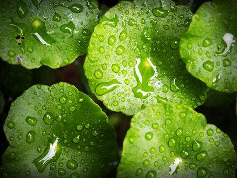 Green Waterlily Free Photo