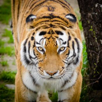 Tiger Beside Tree #36533