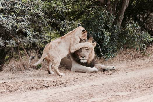 Lion Big cat Feline Free Photo